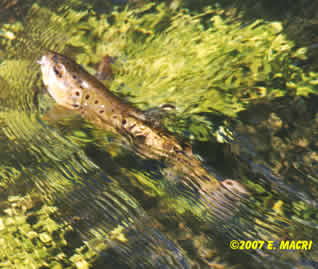 Letort Brown Trout Coming to the Net